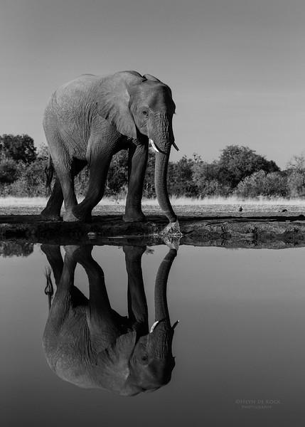 African Elephant, b&w, Mashatu GR, Botswana, May 2017-2.jpg