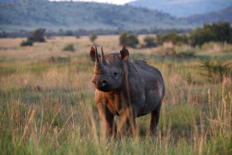 Black Rhino - 4710.jpg