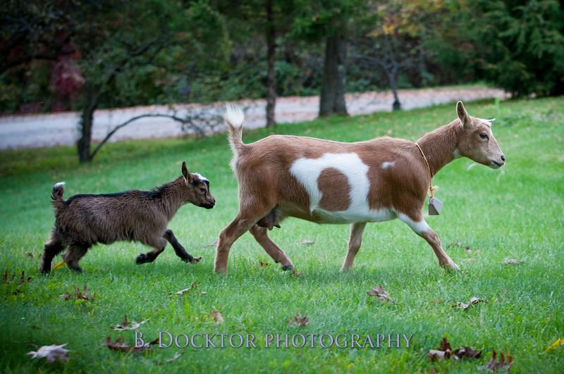 1310_Nigerian dwarf goats_048.jpg
