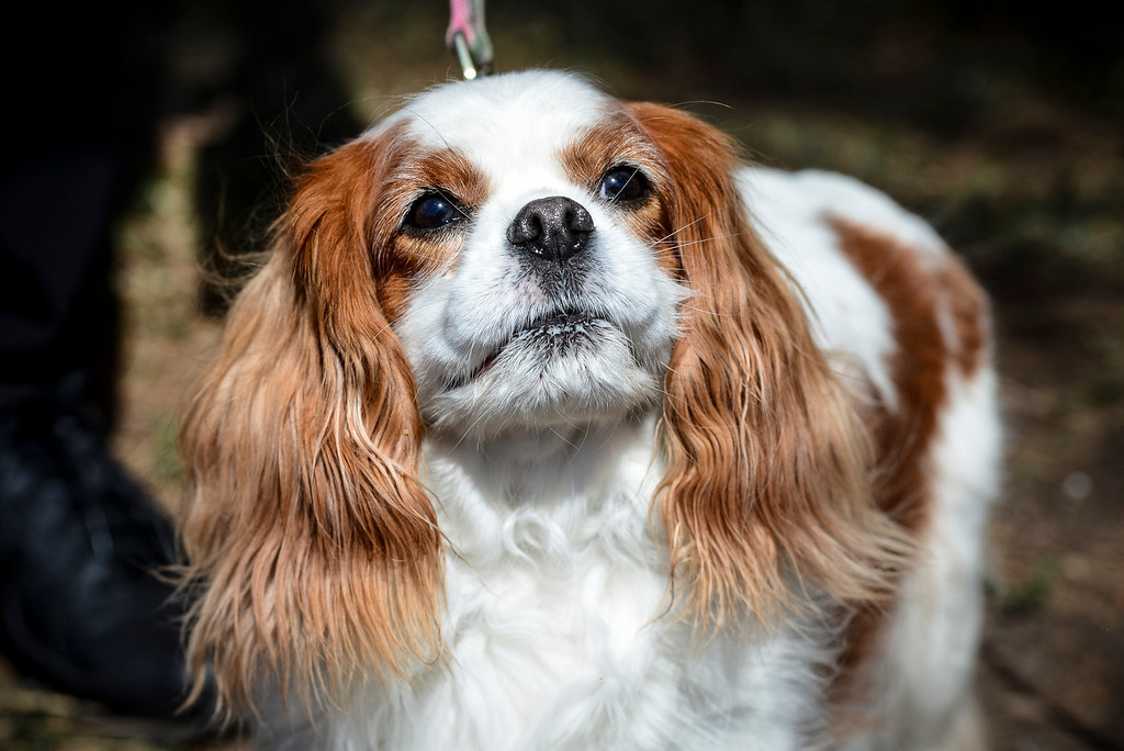 ". ""Lettie\"", a Cavalier King Charles Spaniel owned by Jill Schuberth checks out Pawsapalooza at Woodley park in Van Nuys Sunday, May 4, 2014.    (Photo by David Crane/Los Angeles Daily News)"