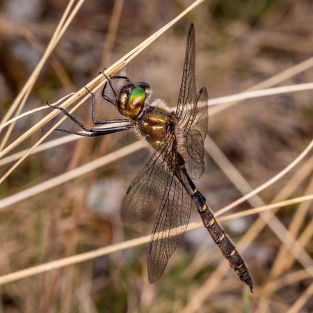 Procordulia smithii - Smith's dragonfly