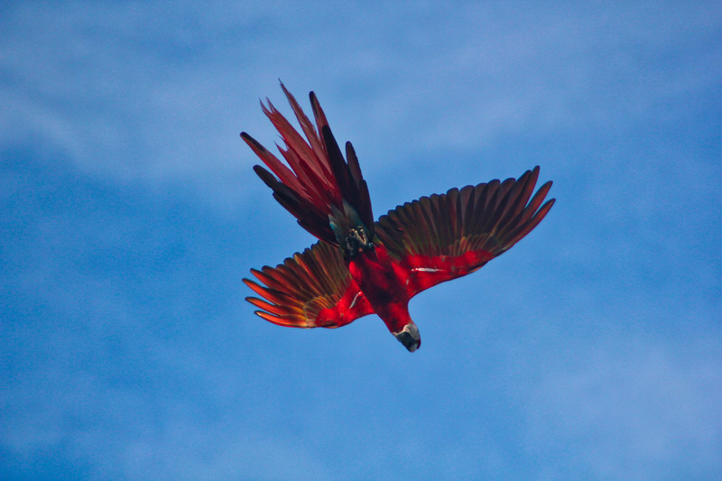 Scarlet Macaw, Red Macaw or Ara Macao in Flight, Costa Rica