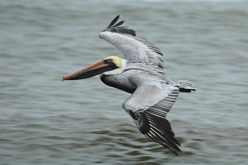Pelican - Brown - St. George Island, FL - 01