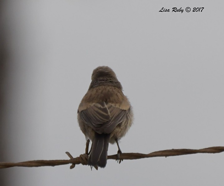 Black-throated Sparrow - 10/01/2017 - Del Mar Public Works