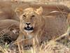 lion cub 1