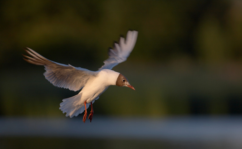 Black Headed Gull - 4297.jpg