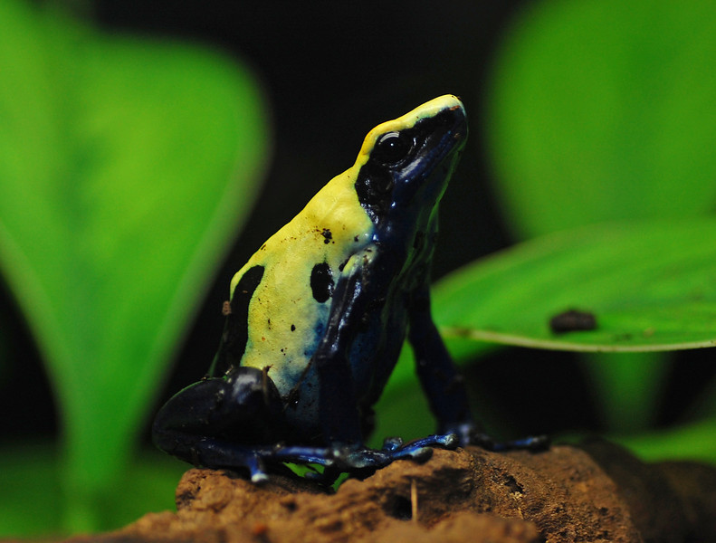 Dartfrog.jpg