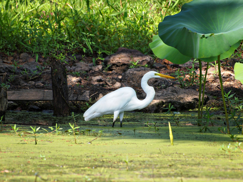 Great White Egret on Caddo Lake