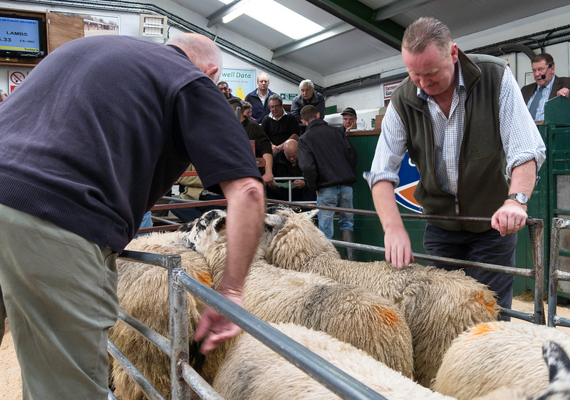 Hawes Auction of lambs, Septemebr 201