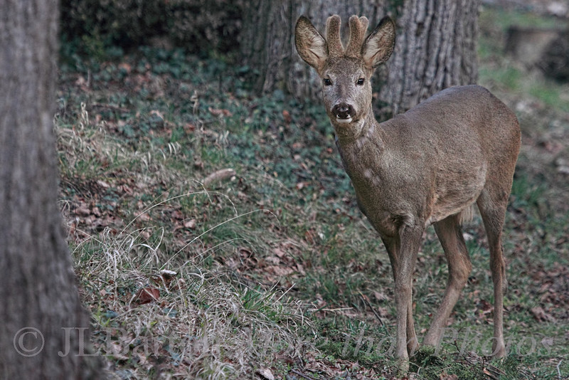 Buck Roe Deer in the Central Cemetery
