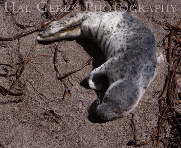Harbor Seal Pup Point Lobos, California 1005BS-HSP3