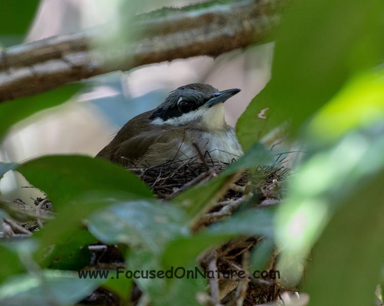 Crossley's Vanga on Nest