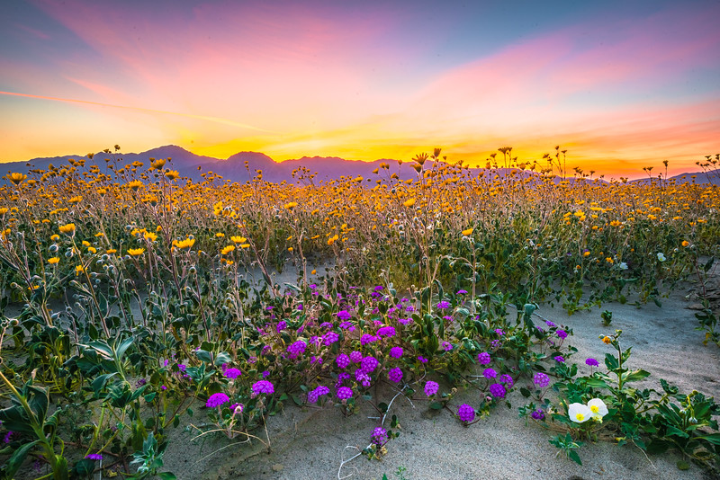 Anza Borrego Desert Spring Wildflowers Fine Art Photography 45EPIC Dr. Elliot McGucken Fine Art Landscape and Nature Photography! San Diego!!