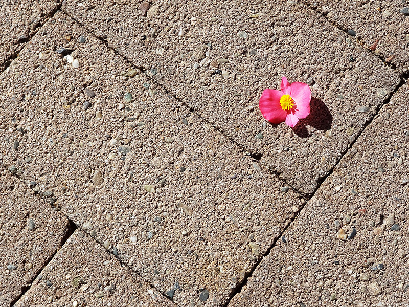 Pink Flower on Bricks