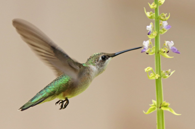 Ruby-throated hummingbird 541