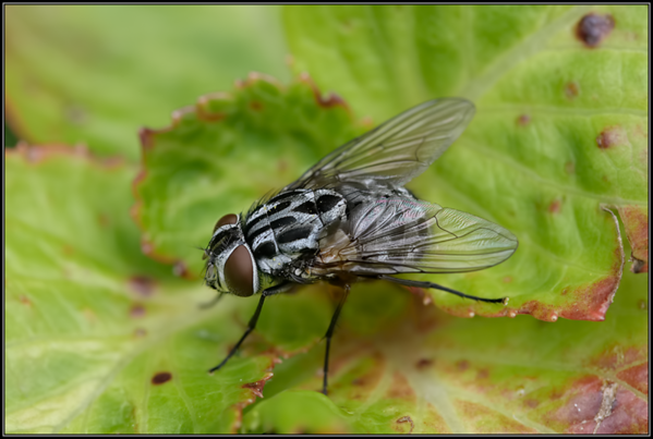 Dambordvlieg/Flesh fly