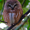 Norther Saw Whet Owl