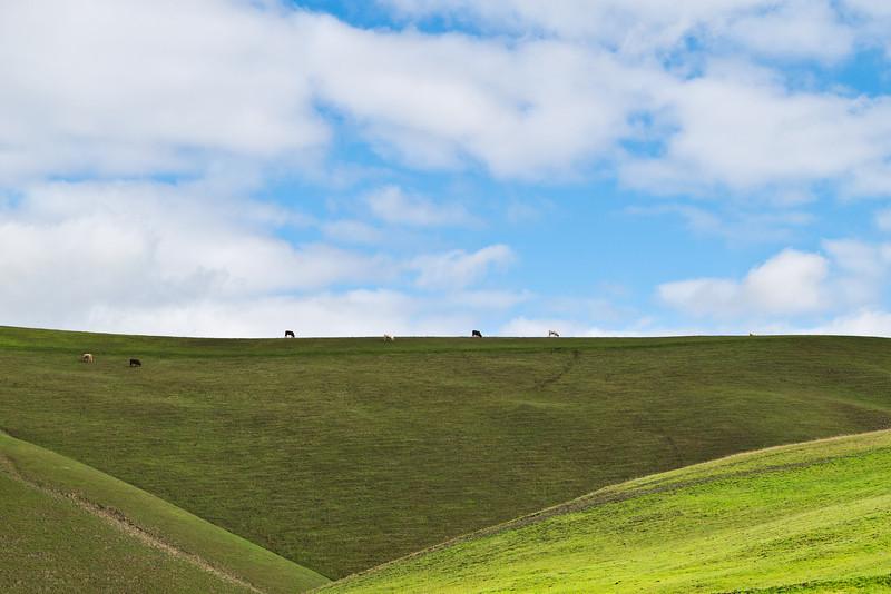 Cows on a hill, California.