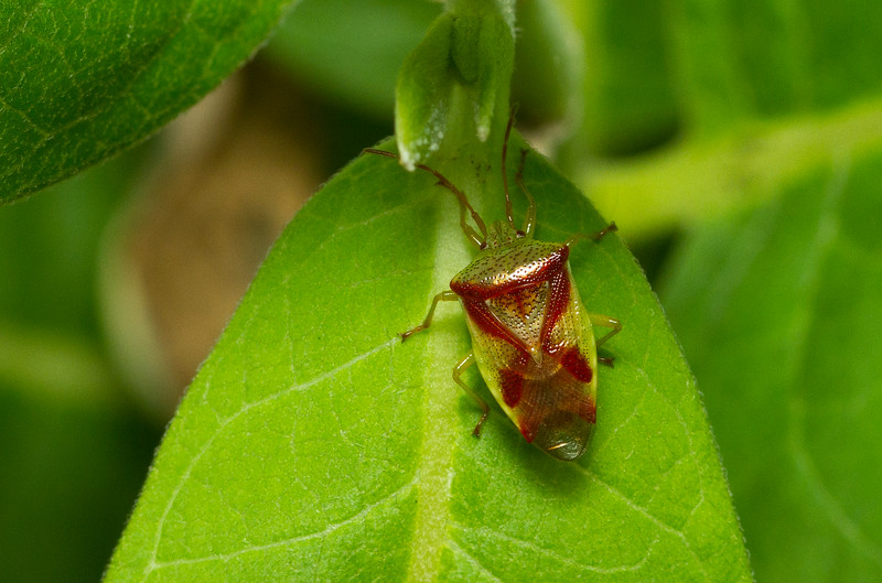 """Red-Cross Shield Bug, Elasmostethus cruciatus, from Wisconsin. (Harry Potter fans will recognize that species name, coming from the Latin for """"crossed."""")"""