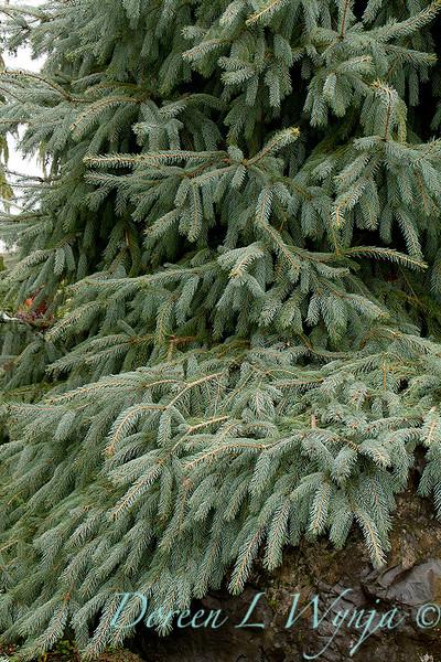 Picea engelmannii Bush's Lace_024.jpg