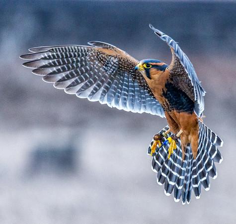 Winter Wings Klamath Falls