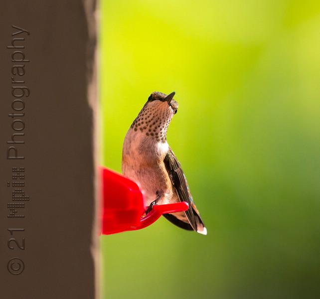 Hummingbird-5796.JPG