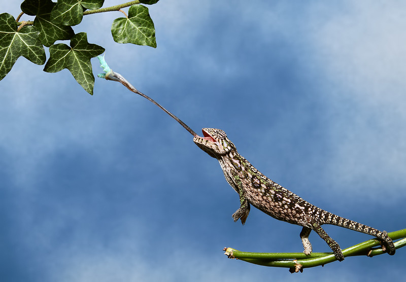 Carpet Chameleon On Vine.jpg