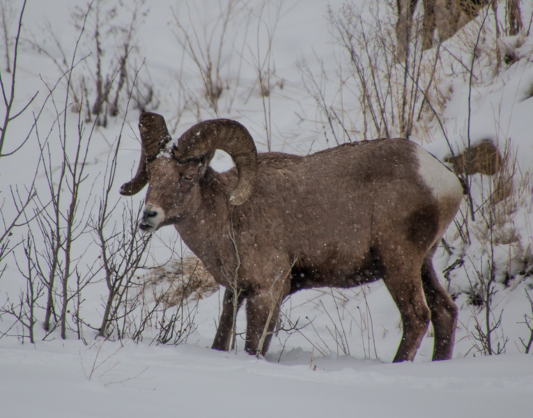 4582-Long Horn Sheep-©Yvonne Carter.jpg