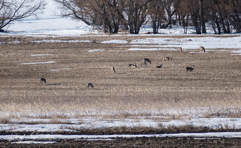 Deer Herd enjoying a Spring Feast