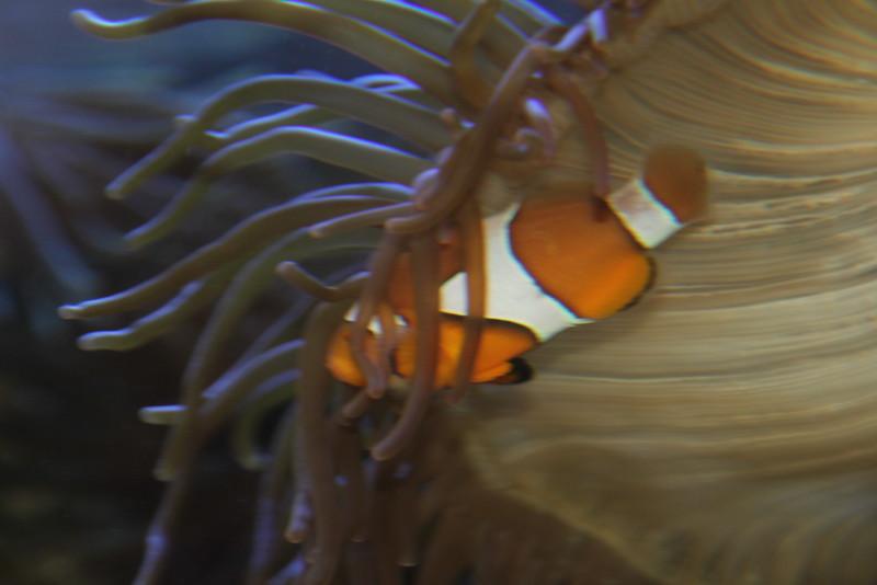Nemo hiding (Anemonefish or Clownfish)