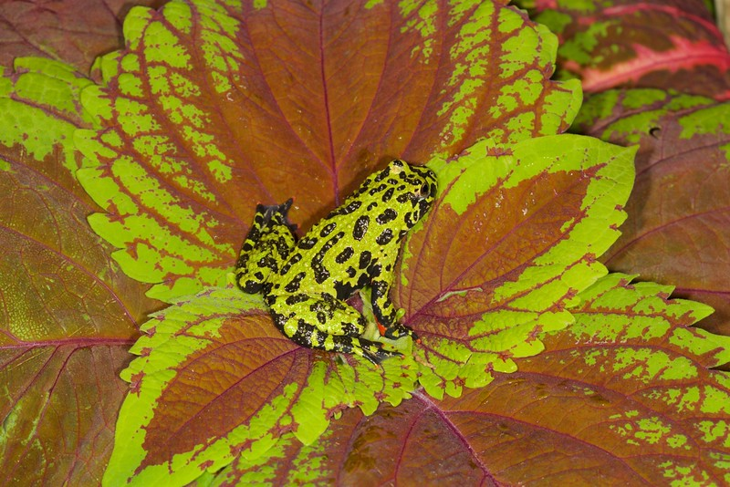 Firebelly Toad