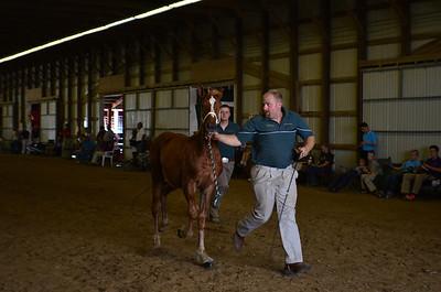 597 Filly Foal Belgians