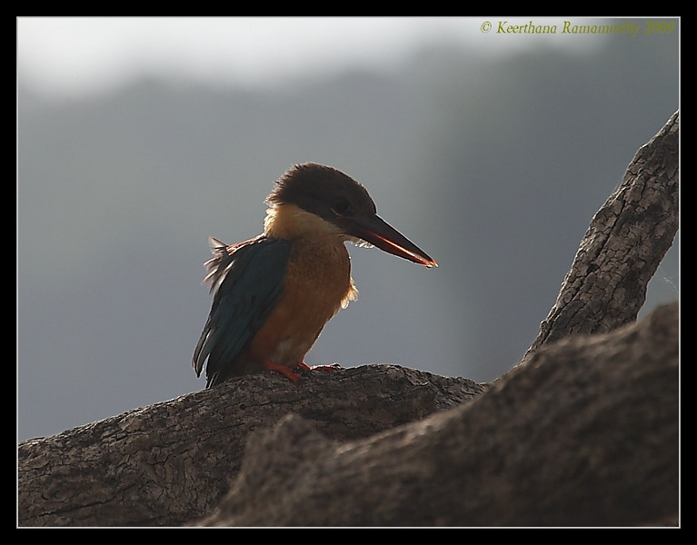 Stork-billed Kingfisher, Kabini, Mysore, Karnataka, India, June 2009