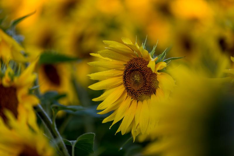 Mike Maney_Sunflowers-108.jpg