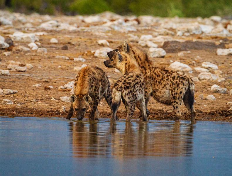 Spotted Hyaena  restore calm