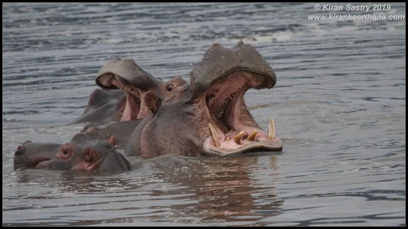 Hippopotamus, Ngorongoro Crater, Ngorongoro Conservation Area, Tanzania, November 2019