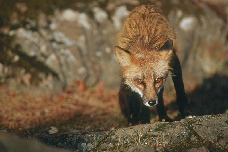 Red Fox - Washington
