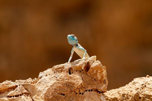 Lizards  in Israel - לטאות בישראל