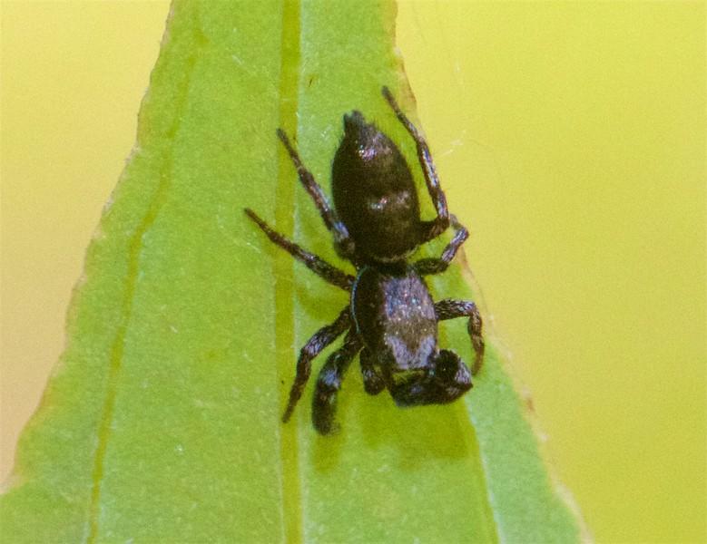 Tutelina harti Jumping Spider jumper Skogstjarna Carlton Co MN IMG_9859.jpg