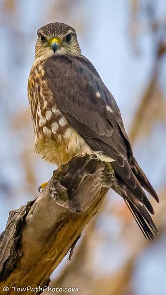 Perigrine Falcon (juv)