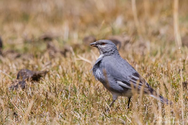 White-winged Diuca-Finch - Record - Highlands above Ollantaytambo, Peru