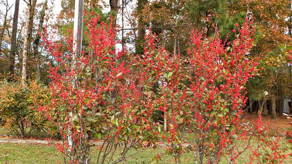 2013 Winterberry Harvest