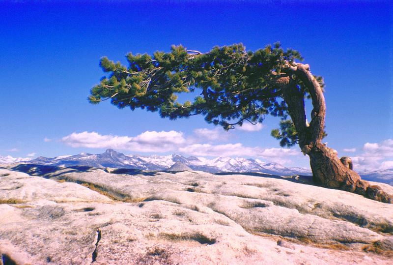 Sideways tree on Sentinel Dome, Yosemite National Park