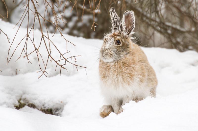 Snowshoe Hare Warren Nelson Memorial Bog Sax-Zim Bog MN IMG_0786.jpg