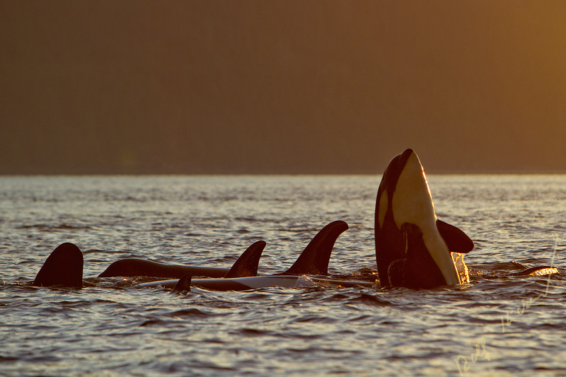 Northern resident killer whale pod, one breaching, in Johnstone Strait, First Nations Territory, Vancouver Island, British Columbia, Canada.