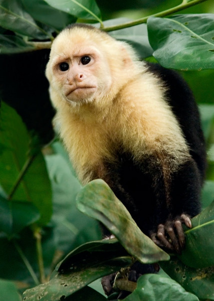 capuchin1656.jpg