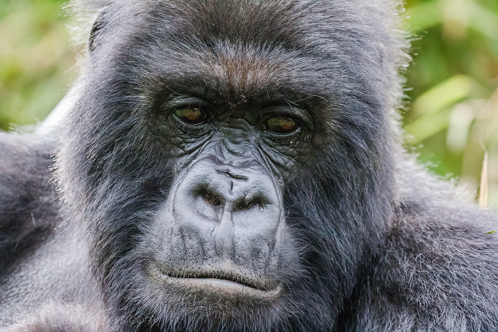 African safari Animals - Mountain Gorilla - Lina Stock