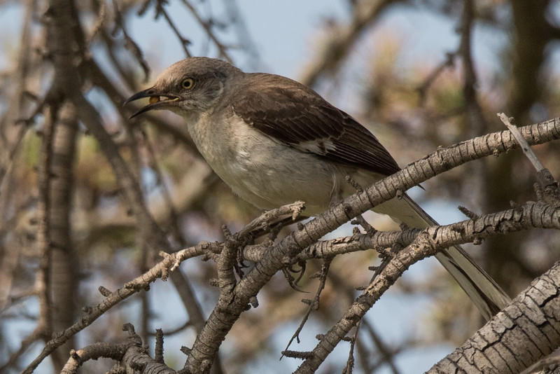 Northern Mockingbird eating a berry.