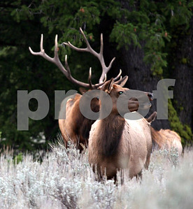 Wildlife: Elk Pack 1