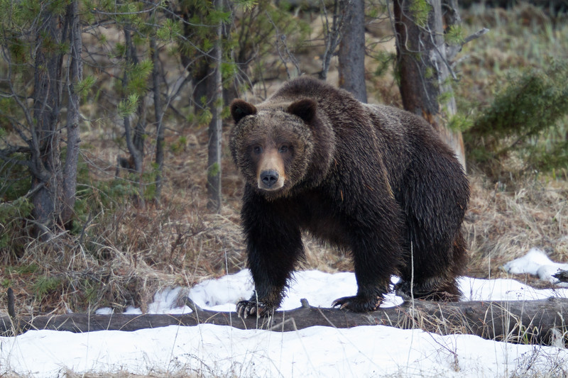 Grizzly bear boar male Yellowstone National Park WY IMG_0496.jpg